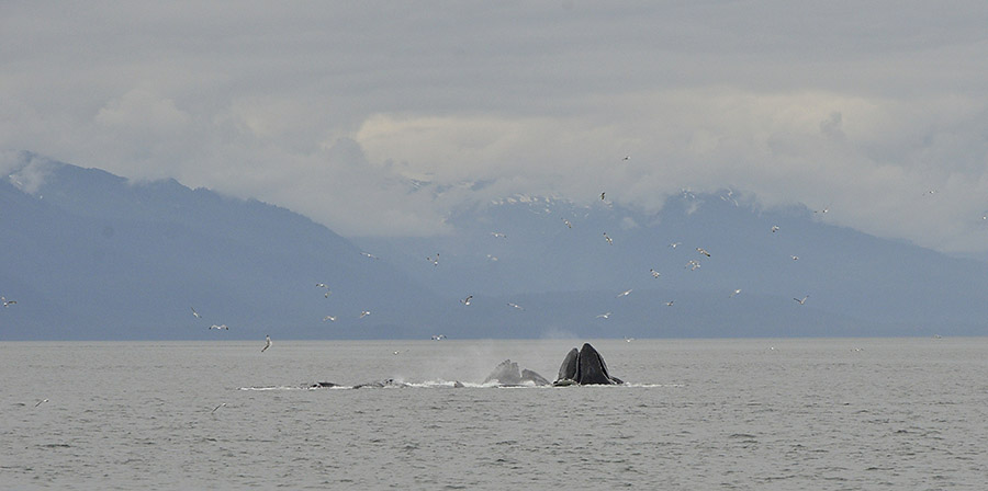 20140717 406 whales bubble net feeding and mountains psr