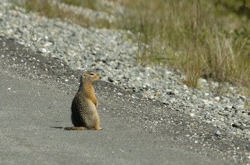 20140722 433 arctic ground squirrel psr