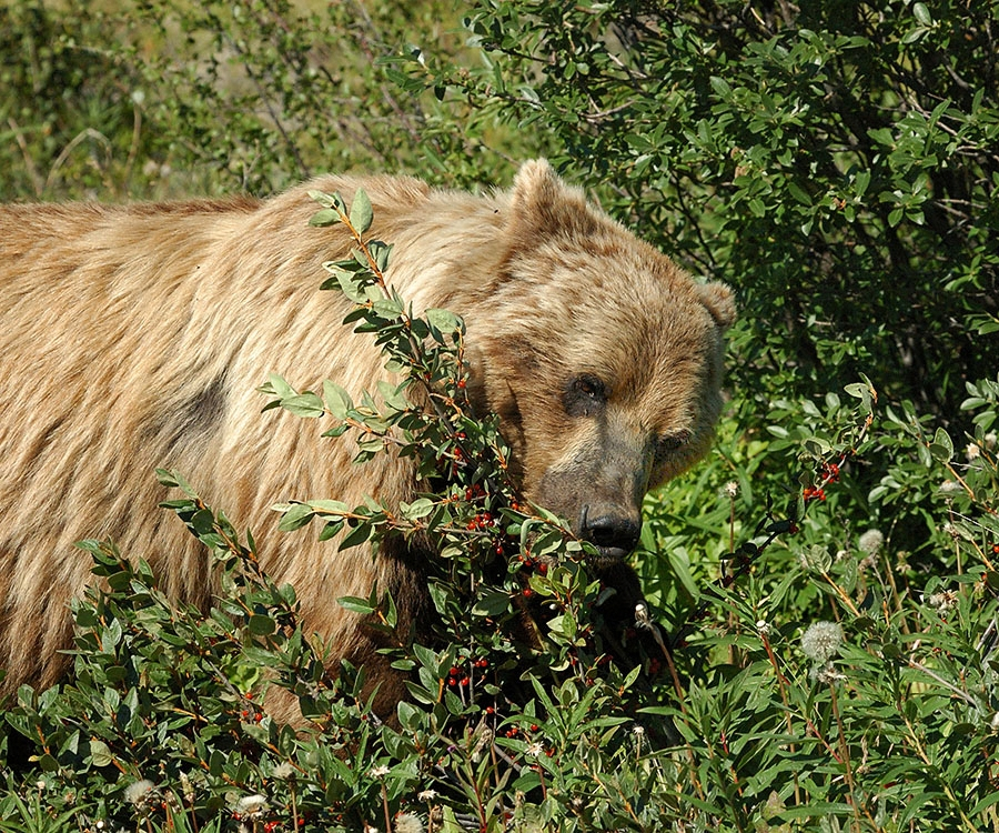 20140722 466 yukon brown bear eating berries psr