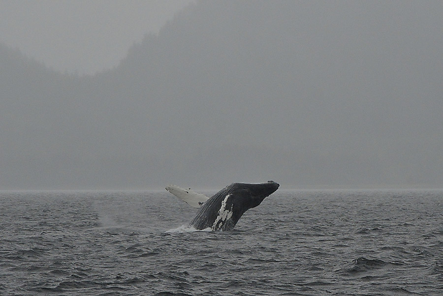 20140817 1447 broaching whale 0 r