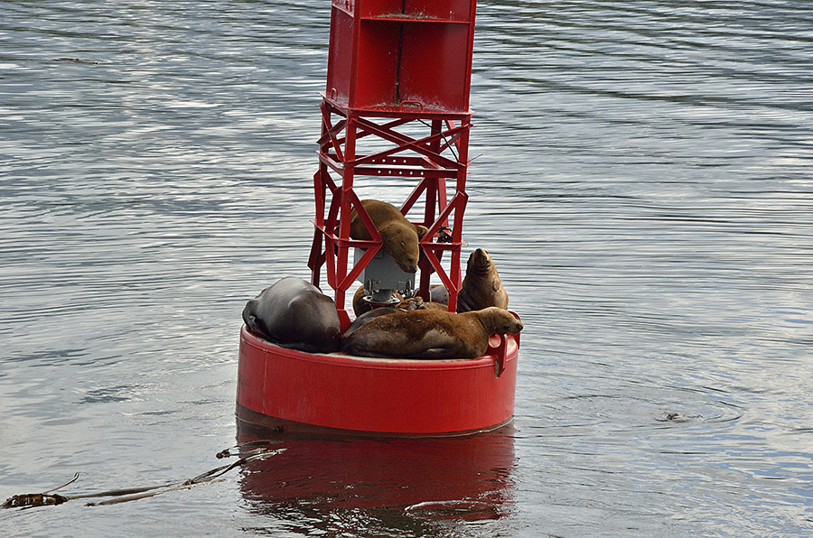 20140819 1479 petersburg buoy and sea lions r