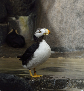 20140826 1703 sea life center puffin r