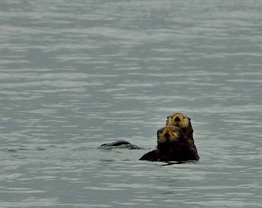 20140827 2465 kenai fjords sea otters 2 r