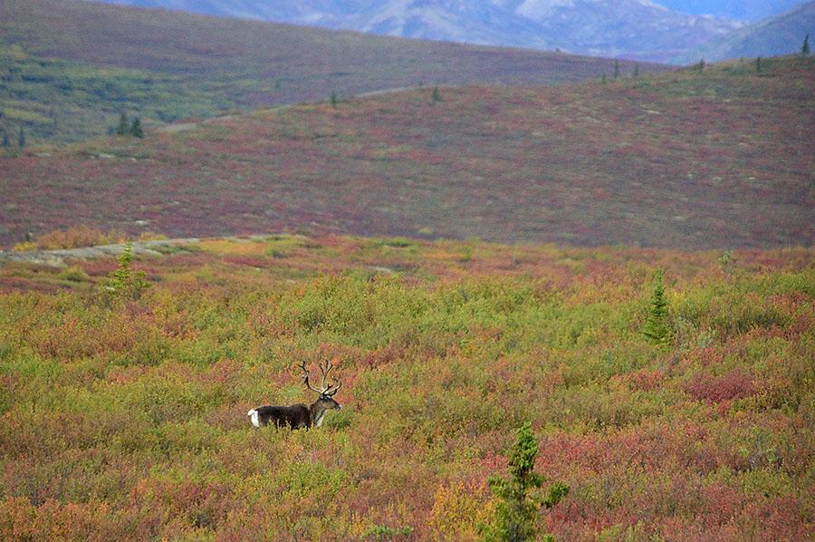 20140830 2519 denali np caribou in fall tundra r