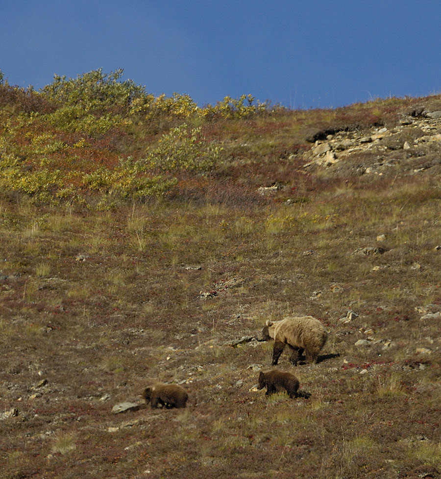 20140830 2544 denali np brown bear and cubs vertical r