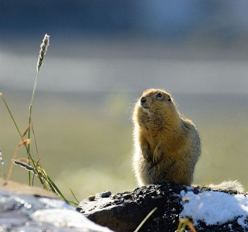 20140830 2574 denali np arctic ground squirrel r