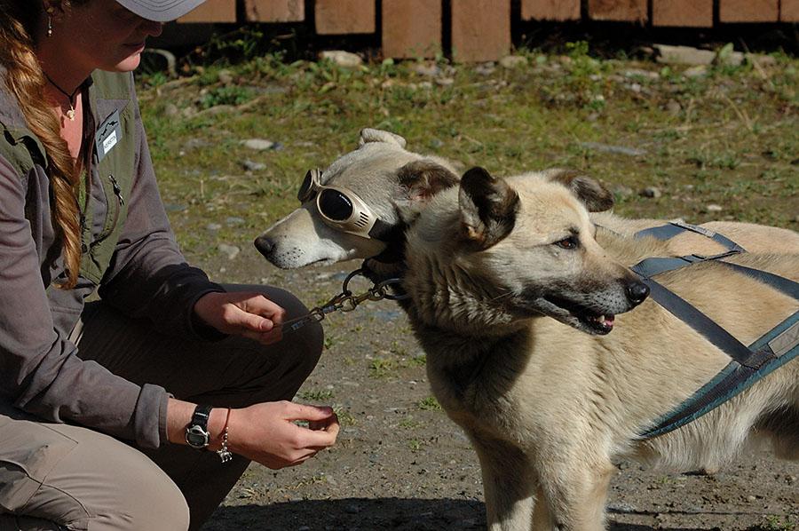 20140830 2579 denali np sled dog leads doggles r