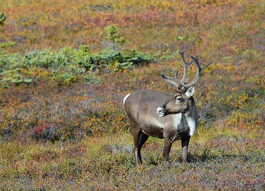 20140830 2609 denali np caribou looking 3 r