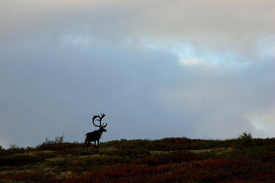 20140831 2352 denali np caribou silhouette r