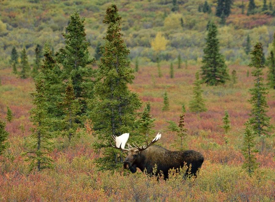 20140831 2411 denali np bull moose 2 r