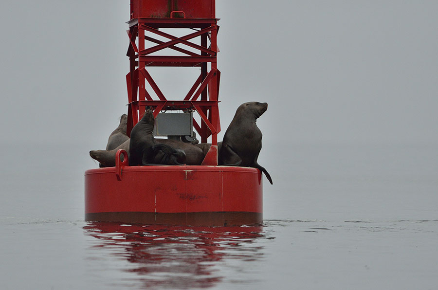 20140907 2788 petersburg buoy sea lions r