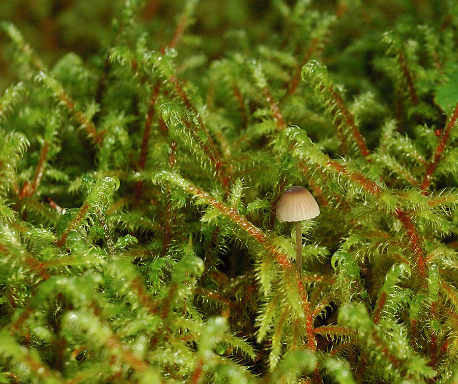 20140917 2909 glacier bay forest tiny brown mushroom r