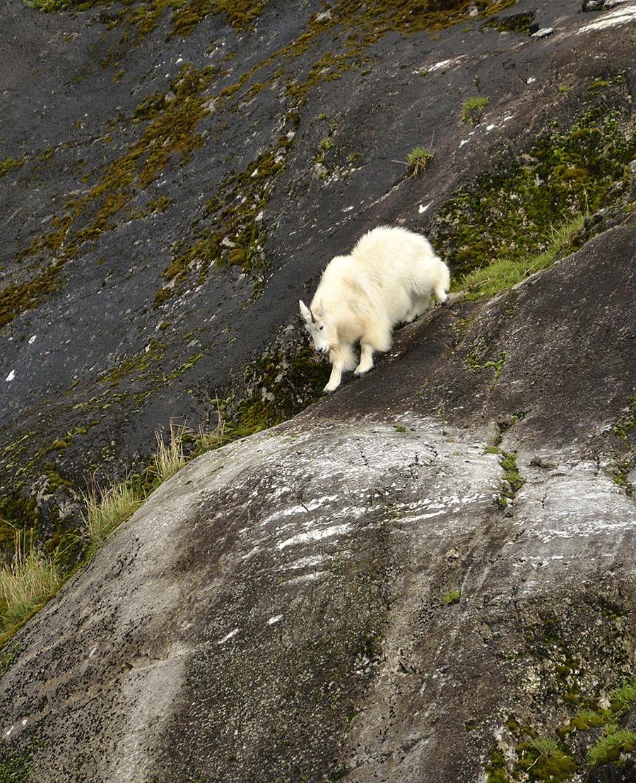 20140923 3250 gbnp mtn goat descending r