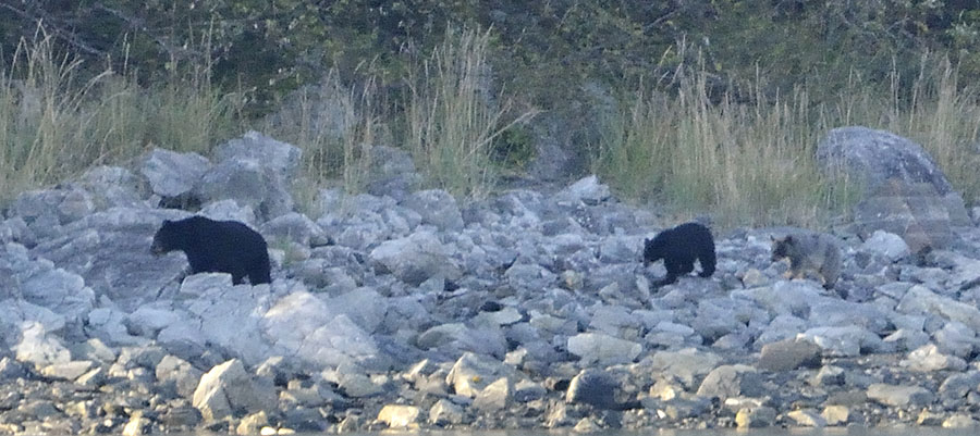 20140923 3326 blue mouse glacier bear cub 3 r