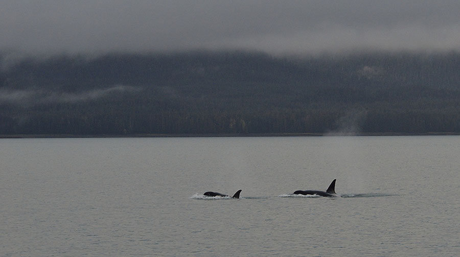 20141007 3742 juneau orca pair r