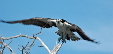 1 osprey