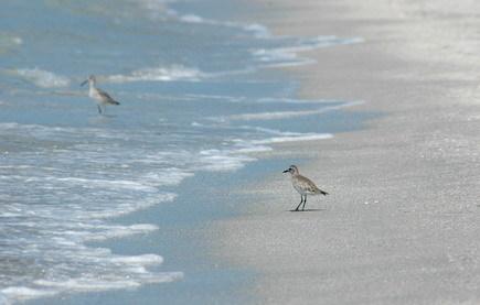3 sanderling