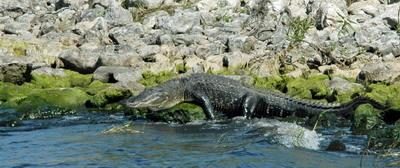 6 alligator