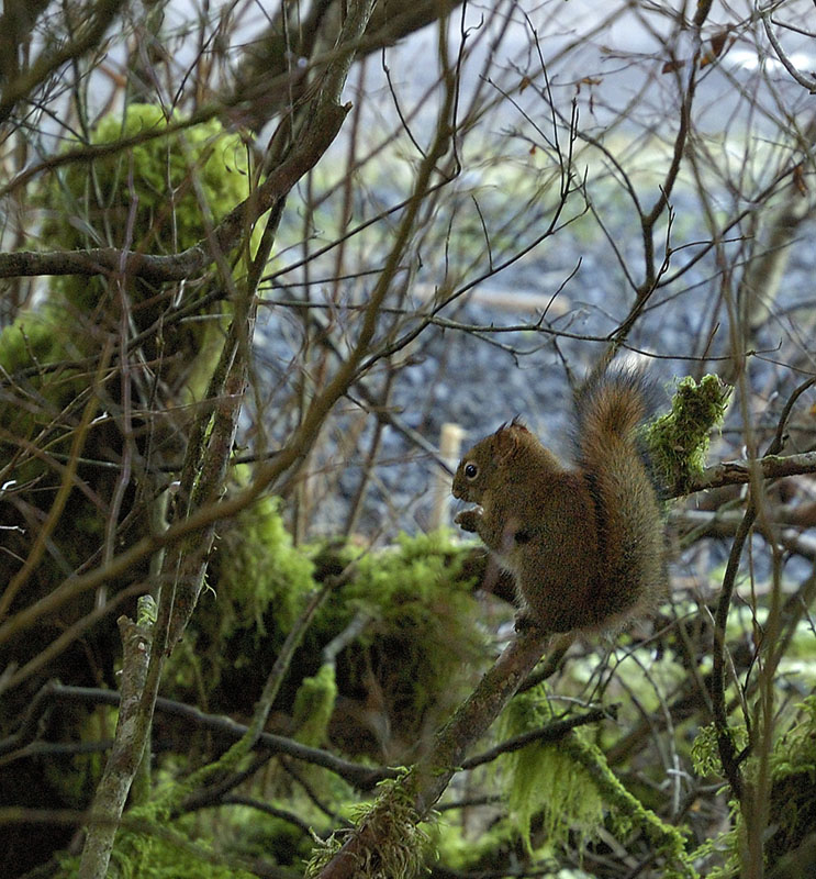 20150202 4202 red squirrel r