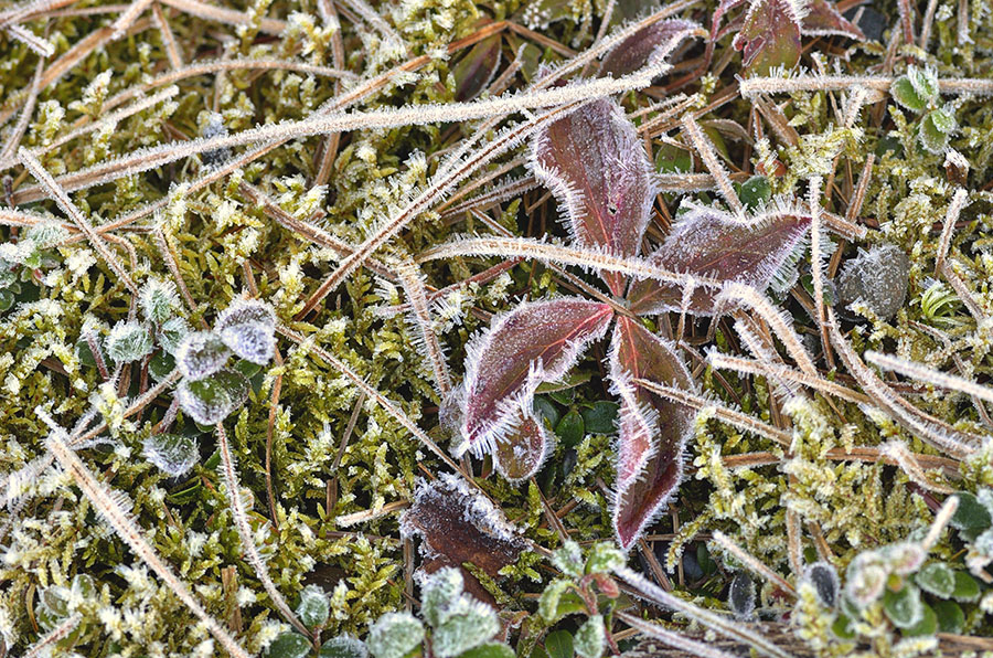 20150227 4437 frost kissed close up r