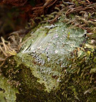 20150424 4816 fairy barf lichen r