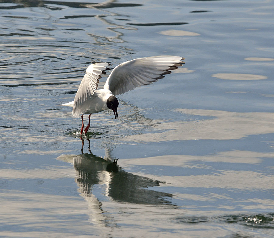 20150504 4905 bonaparte gull dancing 3 r
