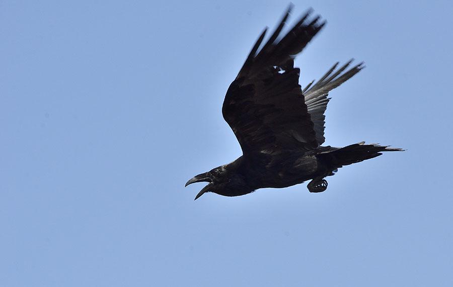 20150514 5179 raven flying r