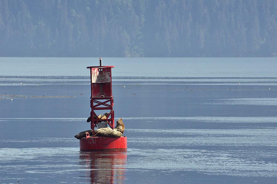 20150518 5503 steller sea lions on buoy r