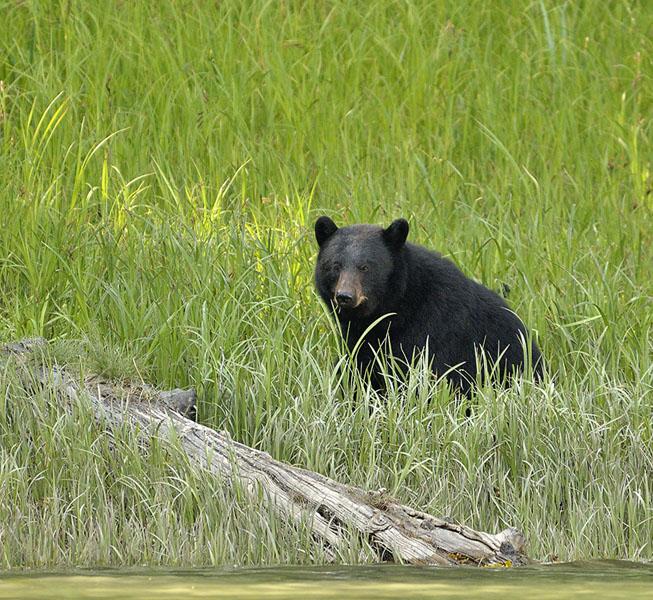 20150521 5612 ideal cove black bear 2 r