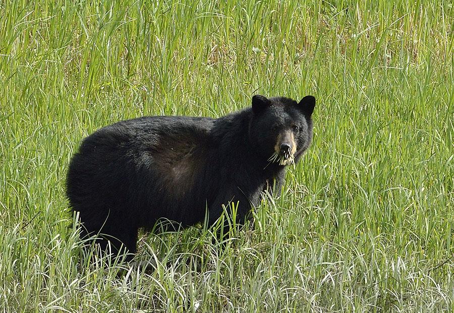 20150521 5696 porcupine bear closeup r