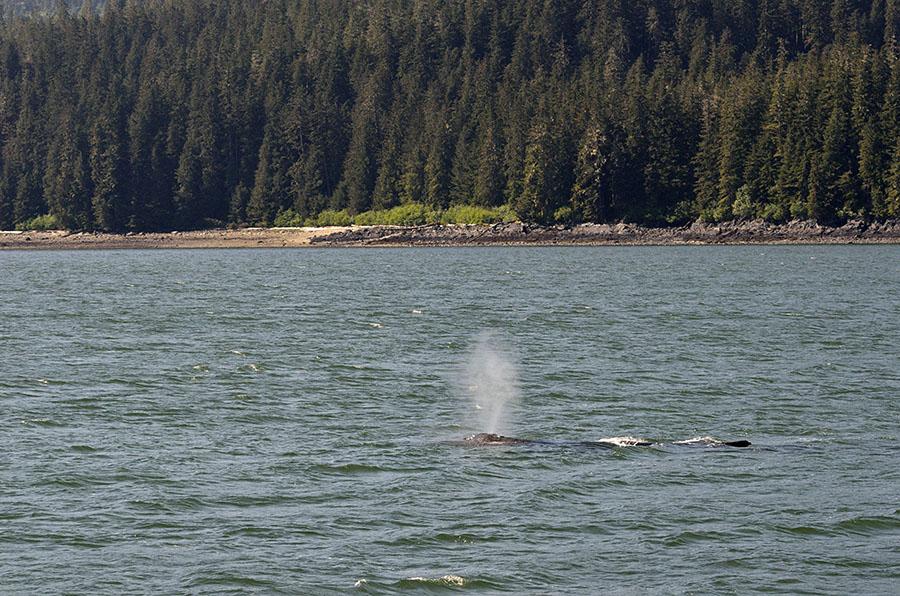20150522 5841 humpback 2 r