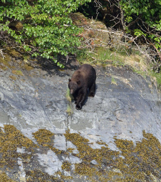 20150531 6136 black bear down to beach r
