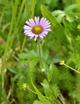 20150613 6462 subalpine daisy r