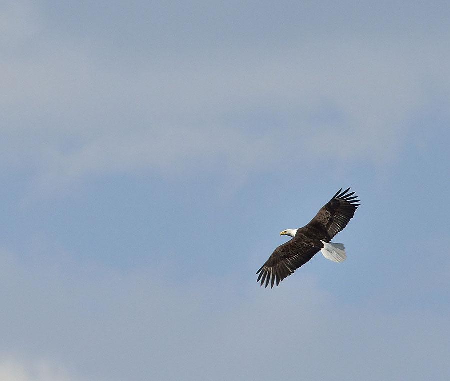 20150615 6725 eagle flying 7 r