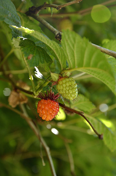 20150617 6636 berries ripe and not r