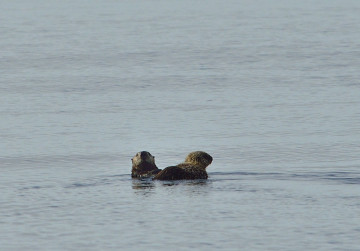 20150617 6755 sea otter and pup r