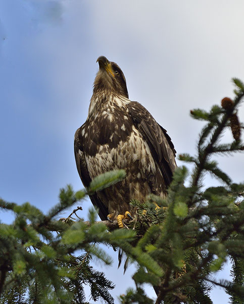 20150619 6834 young eagle looking r