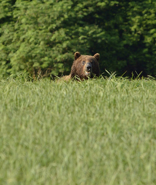 20150621 6927 brown bear 8 r