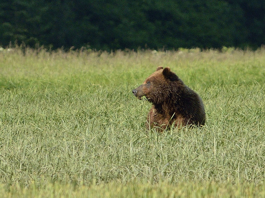 20150621 6970 brown bear 4 r