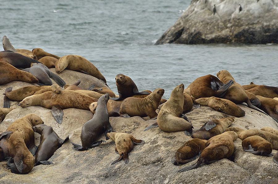 20150628 7230 gbnp steller sea lions r