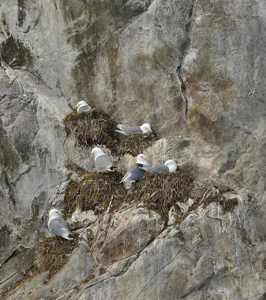 20150628 7429 gulls in cliff nessts r