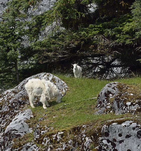20150704 8001 mtn goat nanny and kid r