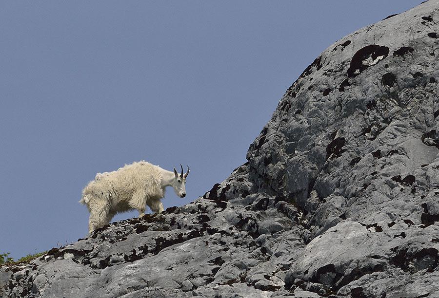 20150704 8036 mtn goat blue background2 r