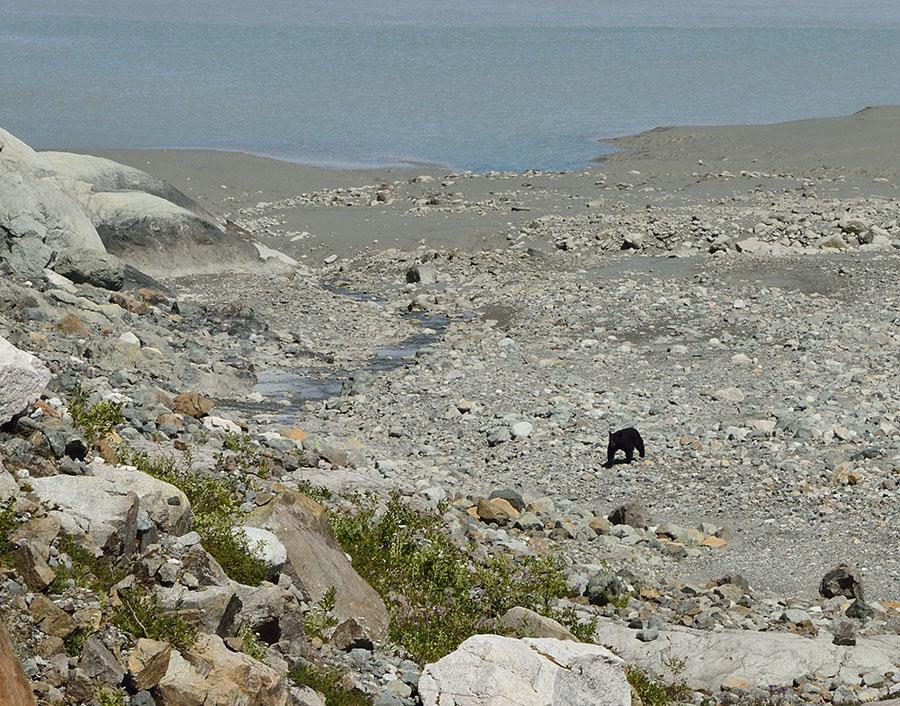 20150705 8225 black bear at reid r