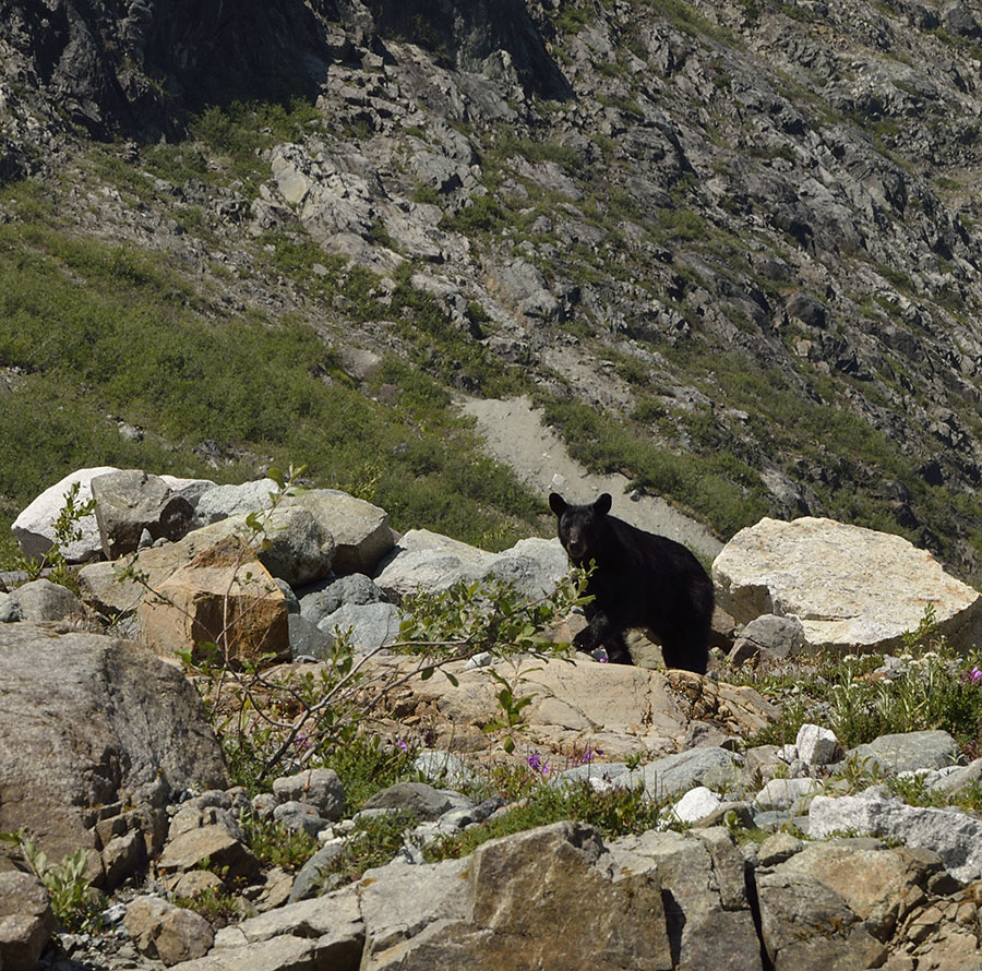 20150705 8227 black bear at reid looking r
