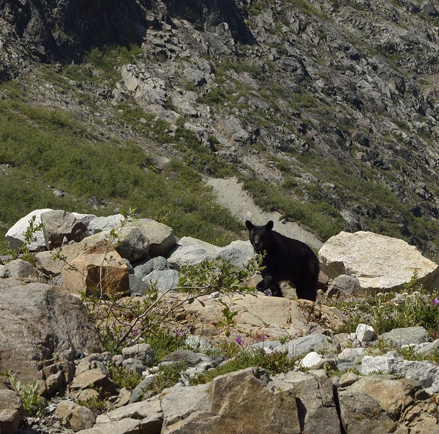 20150705 8227 black bear at reid looking r