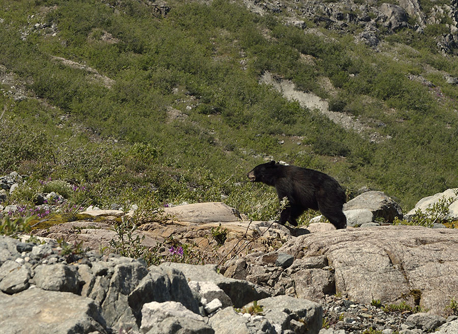 20150705 8230 black bear scampering at reid r
