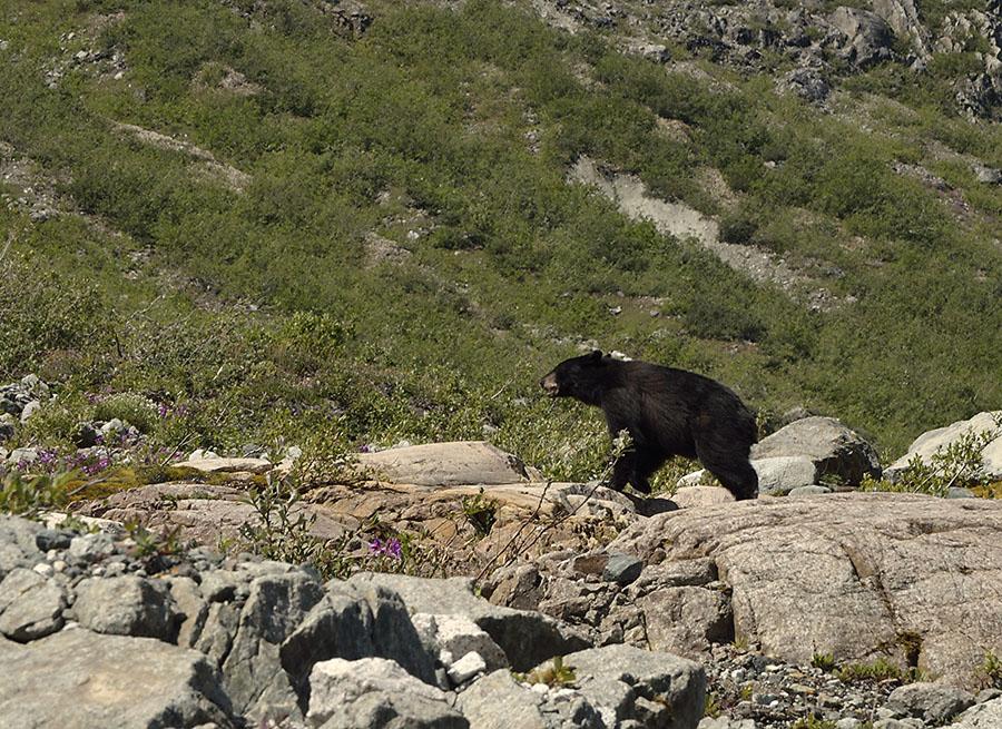20150705 8230 black bear scampering at reid r