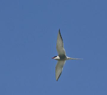 20150705 8265 arctic tern r