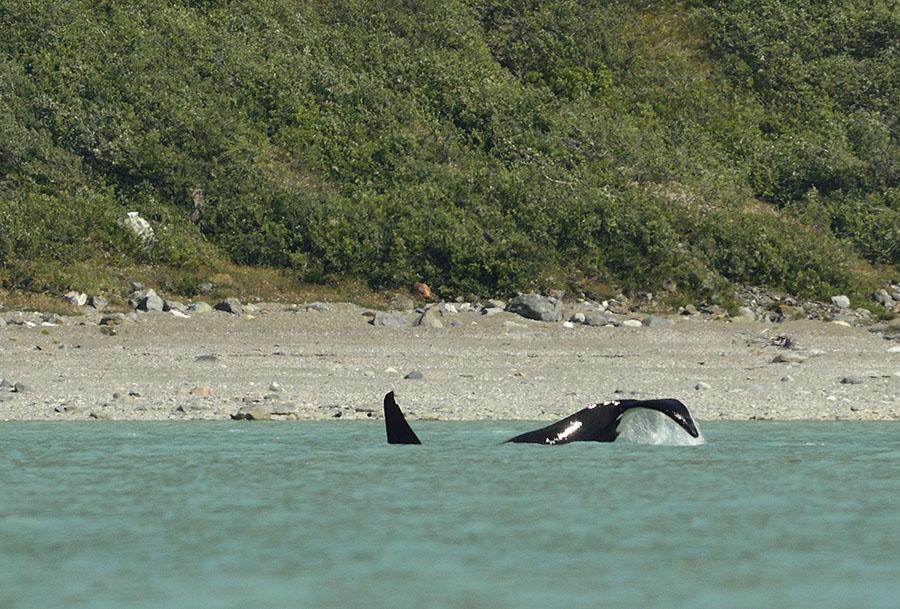 20150705 8316 orca 3 tail slap r